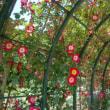 まだ早かった真岡井頭公園のバラ