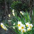 露地の花は 水仙が元気です。