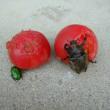 昆虫もトマトは大好きのようです