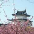 城址公園の河津桜