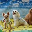 7月8日、29日は子犬のための【パピーパーティー】  犬のしつけ教室@アロハドギー