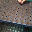 キャベツ&カリフラワー播種