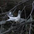 今日の鳥 ヤマセミ 本日は動きの有るヤマセミに挑戦