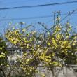 ほころび始めた桜とミモザ、黄梅、白木蓮