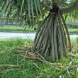 お化けのように大きな観葉植物が街路樹