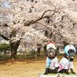 桜広場~樹齢70年の桜並木