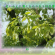 『 老いゆえに湧くもののあり柿若葉 』物真似575春zrw2005