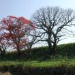 まあるいハゼの木