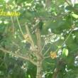 金木犀(*^_^*)