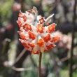 「おはようの花」 ミツマタ(三枝、三又) 3月