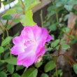 oneboke みちこ今日の庭 薔薇アイスバーグピンク と 干し柿つくり