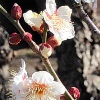 梅の花。そしてお雛様。