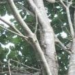 樹液に群がるクワガタと蝶