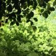 新緑の清々しさ‥⑤ 【ひで某】