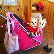 看板犬にケンカを売る2チワワです。