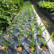 ニンニク栽培 ニンニクは肥料好きなので、今日は乾燥鶏糞の追肥…