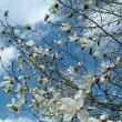 桜!開花しました