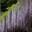 拝島   藤の花