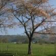 猪苗代の桜とコストコ情報