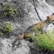 今日の鳥 ハヤブサ カワセミ ウグイス  動物キタキツネ
