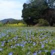 オオイヌノフグリ(ホシノヒトミ)・近燐の田圃
