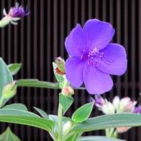 紫紺野牡(しこんのぼたん)丹という花