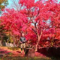 (紅・黄)葉ハンター・ジャッキー2018 autumn color hunter Jackie enjoyed colored leaves during my jogging