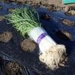 タマネギを植えつけました