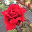 薔薇ジャム用の薔薇が咲いています