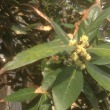 会社の月桂樹の木の花が咲いたのは初めてです!