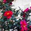 花図鑑74 わが家の山茶花