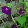 花持ちのよいマルバアサガオ