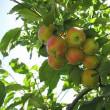 りんご畑をハイキング
