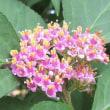 ムラサキシキブ(紫式部)の花