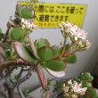 常盤平団地の54年 31 金の成る木に花が・・