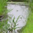 水路で見かけた、クサシギ。