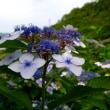 雨は降ってないけど、吉野山「あじさいロード」出かけてみました