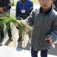 2019年3月17日 春の野草観察会