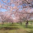 地元の大寒桜を観る・・・