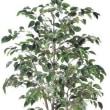 小さな葉っぱがたくさんついたフィカスツリー