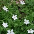 イチリンソウの可憐な花