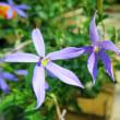 【イソトマ (ローレンティア)】5枚の花びらがあるように見える星形の可愛らしい花☆実際は筒状の花の先端が5つに裂けて星形に広がり☆