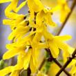 満開の黄色いレンギョウと赤い木瓜の花