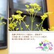 秋の七草・・女郎花