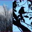 ヒヨドリの樹々