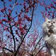 やっと咲いたぁ 今治かわら館 梅の花 2018