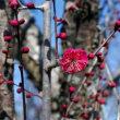 百梅園に梅を観に行きました 花図鑑82