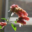 開花期が長い ・・・ コエビソウ の花散歩