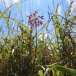 高ボッチ高原・鉢伏山で最近咲いている花 ヤマラッキョウ(山辣韮)