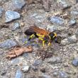 キゴシジガバチ